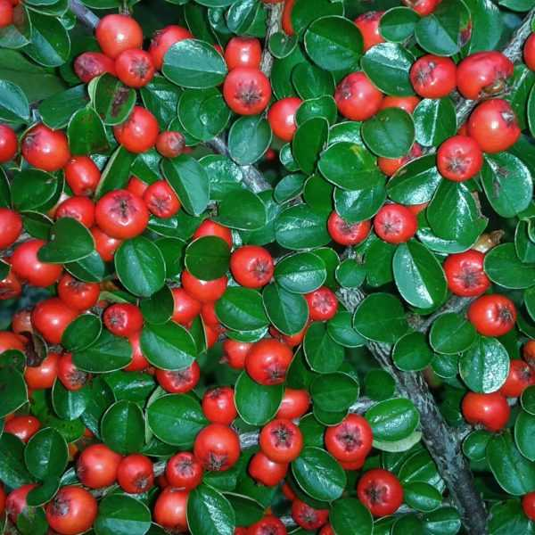 cotoneaster-438353_1920