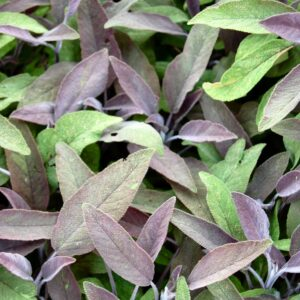 purple-sage-1319681