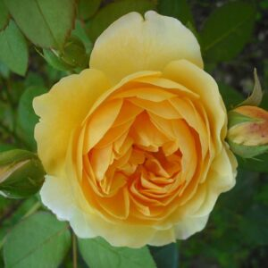roses-173060_1280