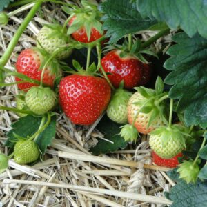 strawberries-196798_1920