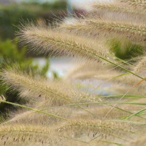 ornamental-grasses-209585_1920