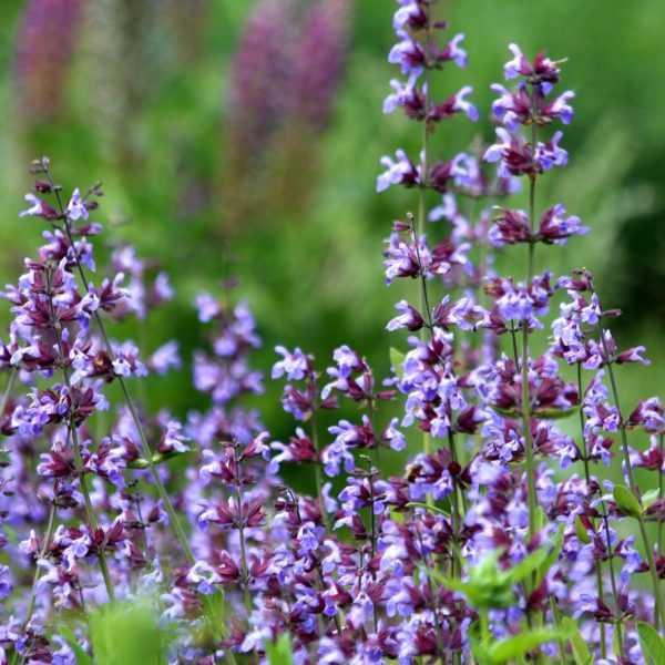 purple-flowers-2036855_1920